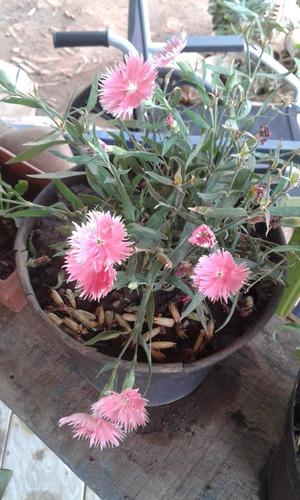vendo sementes de flores cravos lindos e belos