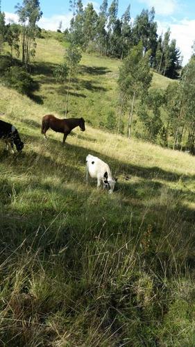 vendo vaconas , vaconas preñadas y toros