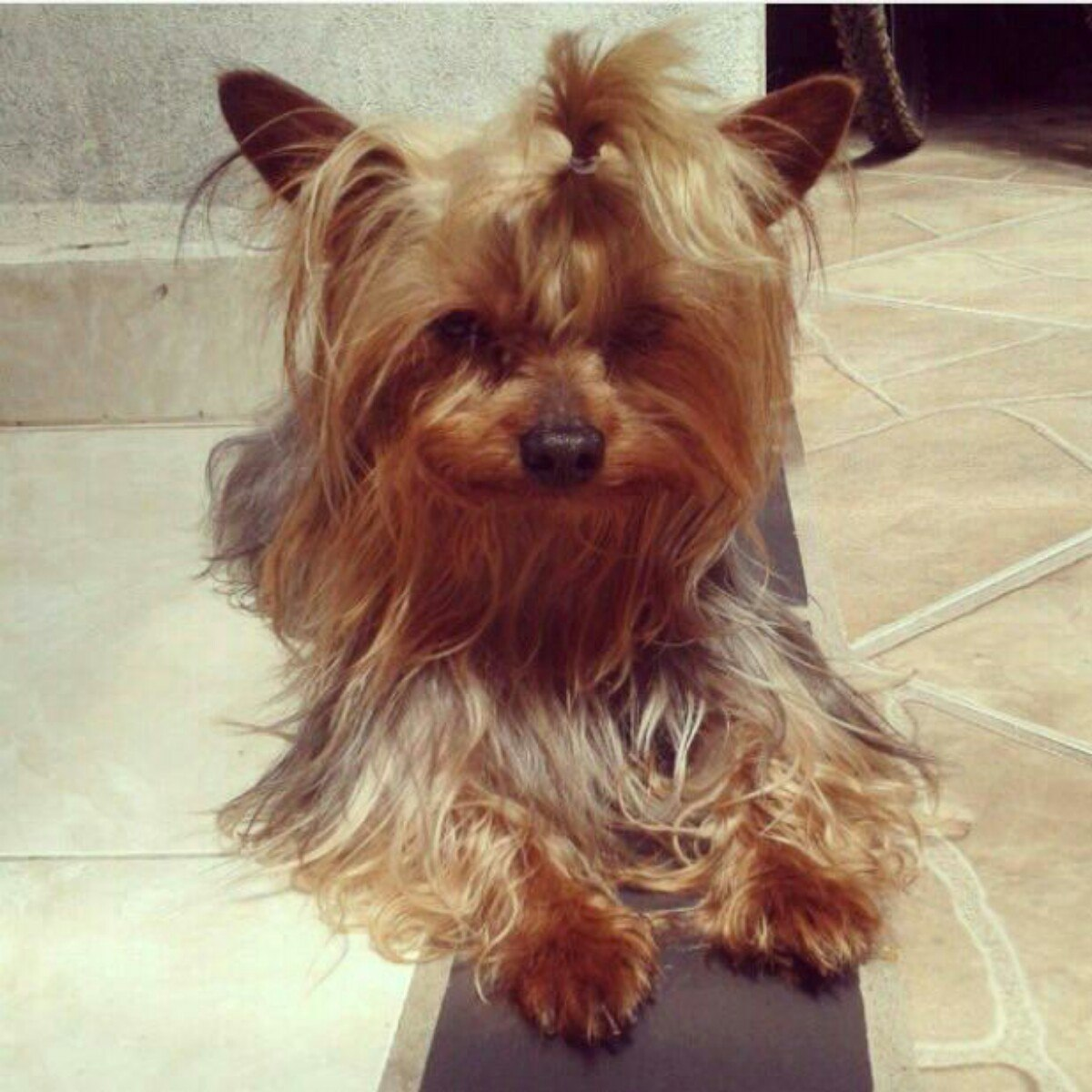 All About Yorkie Temperament Yorkshire Terrier Training Solutions