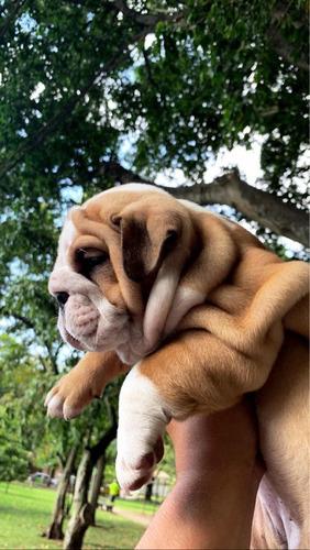 venta bulldog ingles medellin  bogota cali barranquilla bull