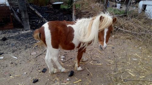 venta caballos pony miniatura se aceptan cambios