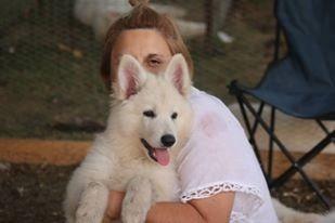 venta cachorro pastor blanco suizo o pastor aleman blanco