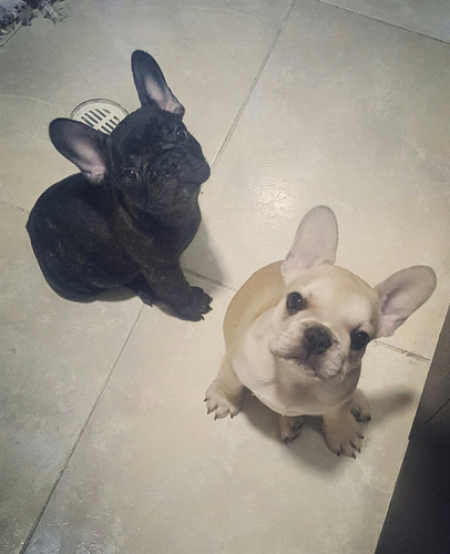 venta cachorros bulldog frances