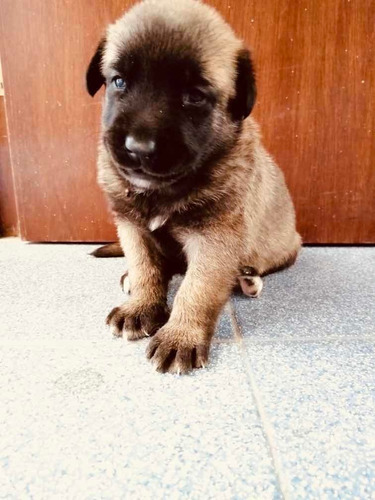 venta cachorros pator belga malinois