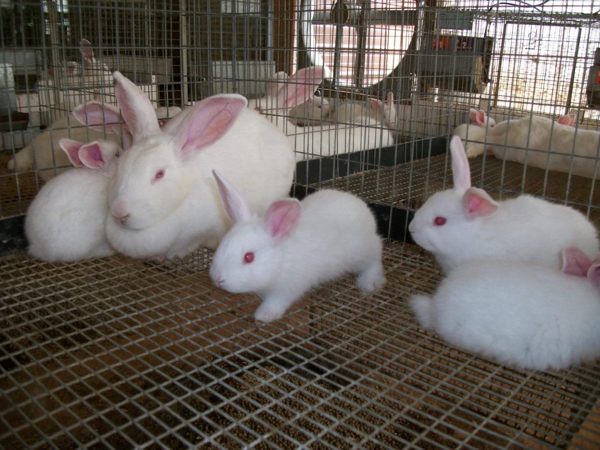 Venta Conejos Blanco Raza Grande Nueva Zelanda - S/ 20,00 en Mercado ...