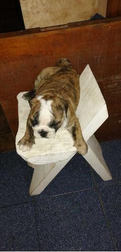 venta de bulldog ingles
