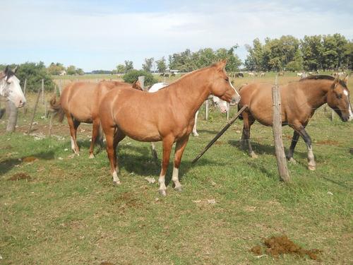 venta de caballos criollos de pedrigui