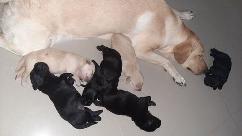 venta de cachorro labradores