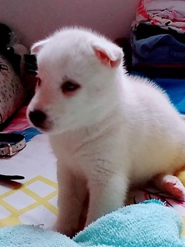venta de cachorro lobo siberiano