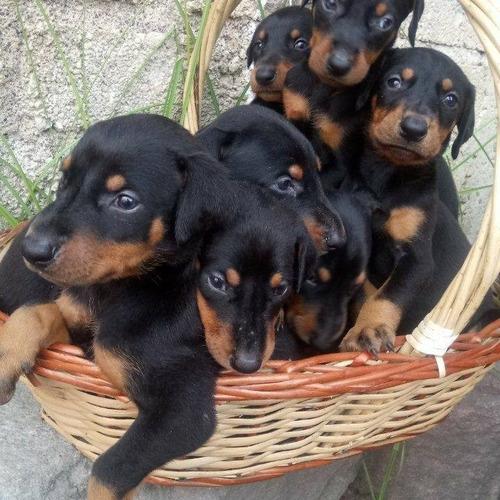venta  de cachorros doberman