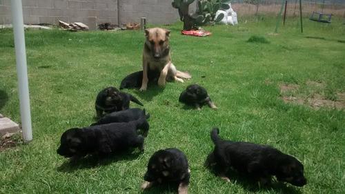 venta de cachorros pastor aleman