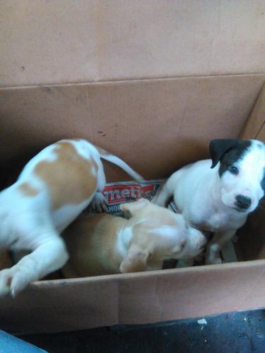 venta de cachorros pit bull
