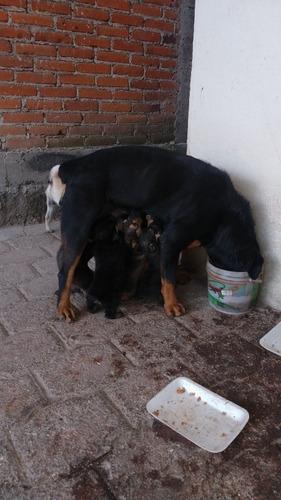 venta. de cachorros rottweiler