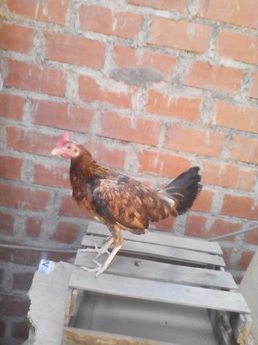 venta de gallinas  pollas dominicanas a buen precio