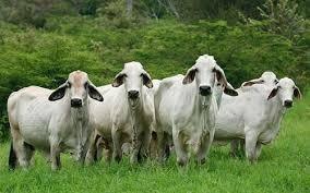 venta de ganado gordo