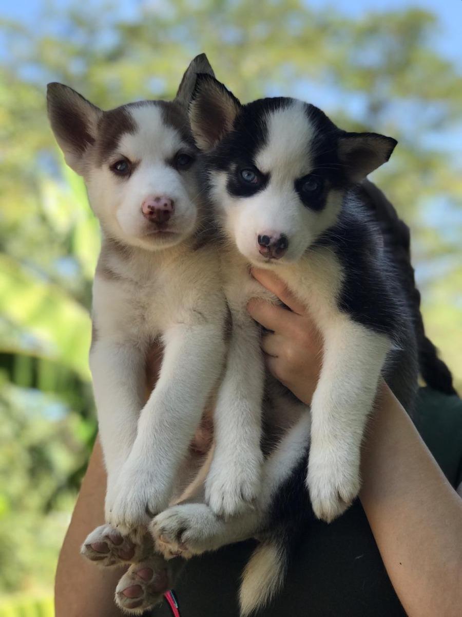 Venta De Hermosos Cachorros Lobos Siberianos 900000 En Mercado