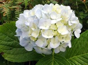 venta de hortensias distribuidor nacional