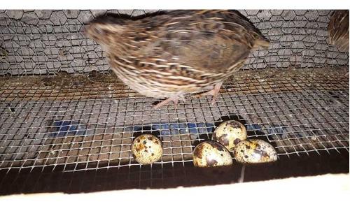 venta de huevo de godorniz y godornicez