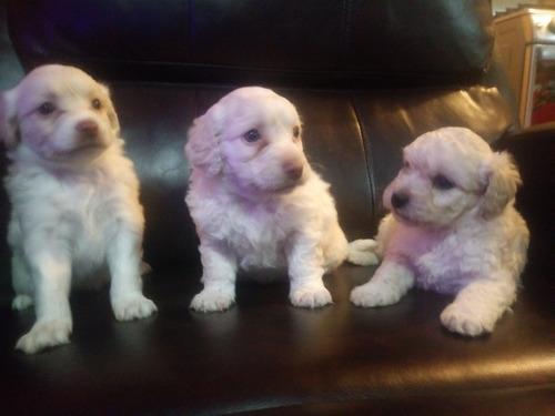 venta de perritos, maltes con 5 semanas de nacidos 1 macho 2
