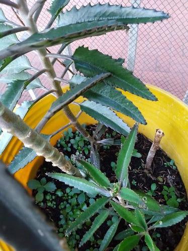 venta de plantas de  kalanchoes.-