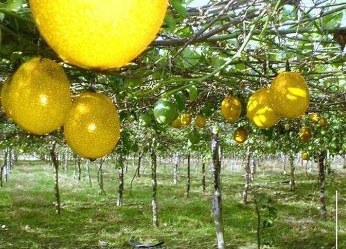 venta de plantas de maracuya amarilla