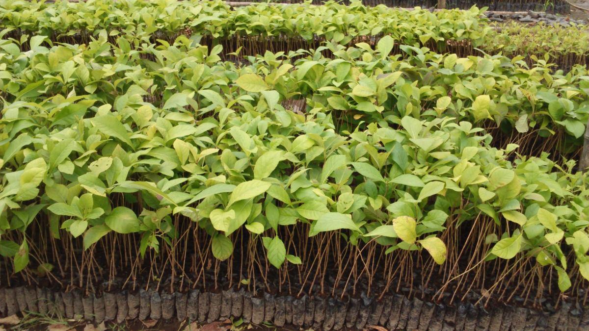 Venta de plantas forestales en viveros u s 12 00 en for Viveros y plantas