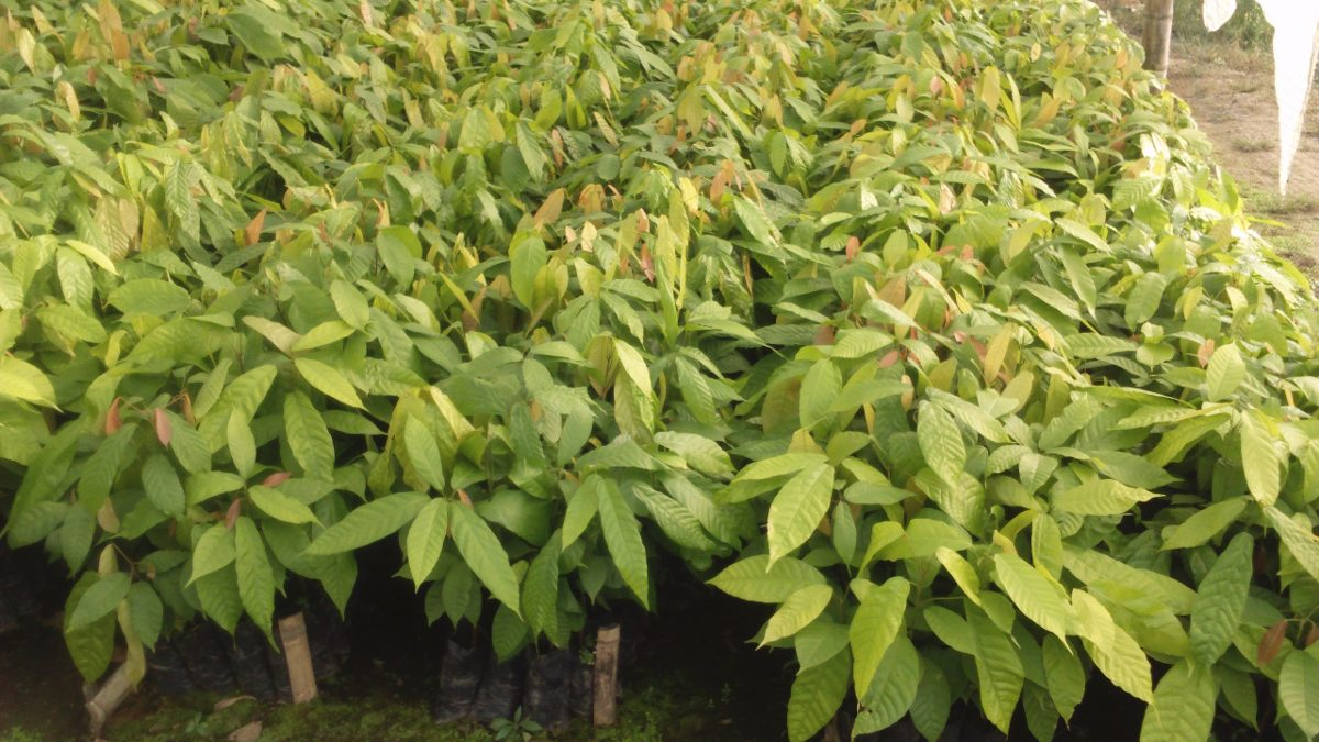 Venta de plantas forestales nativas en viveros u s 13 00 for Vivero plantas nativas