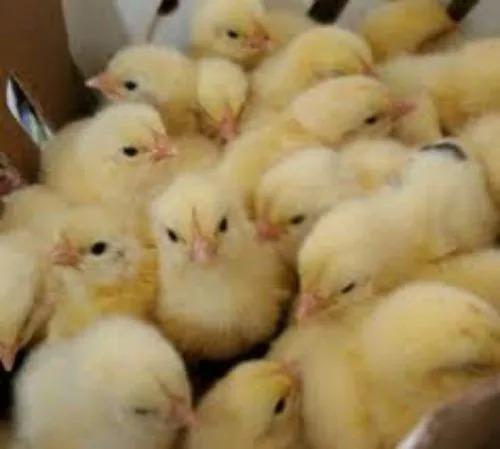 venta de pollo macho de 1-8-15 y 20 días de nacidos de roza