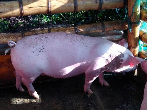 venta de porcinos. cerdos