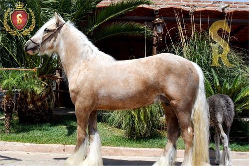 venta de yegua gypsy vanner its madonna