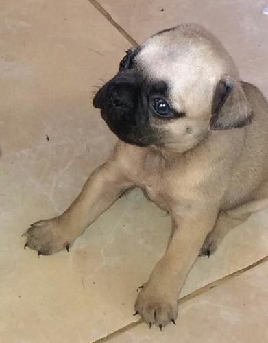 venta pug cruzado con bulldog frances 450.000 negociables