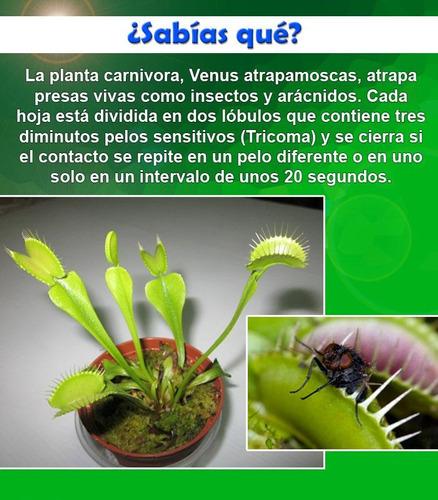 venus atrapamoscas 10 semillas