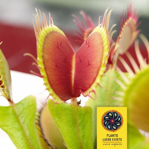 venus atrapamoscas - 48 meses - plantas carnívoras