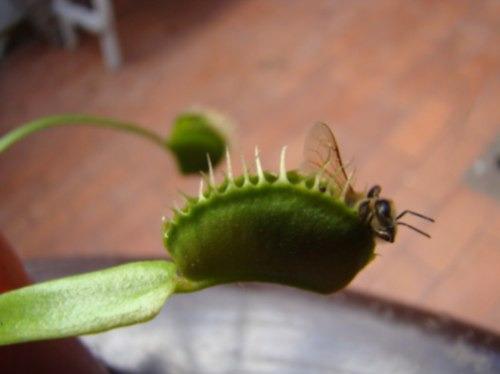 venus atrapamoscas18 meses !!!  plantas carnivoras
