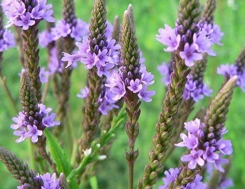 verbena officinalis erva santa sementes para mudas ervas