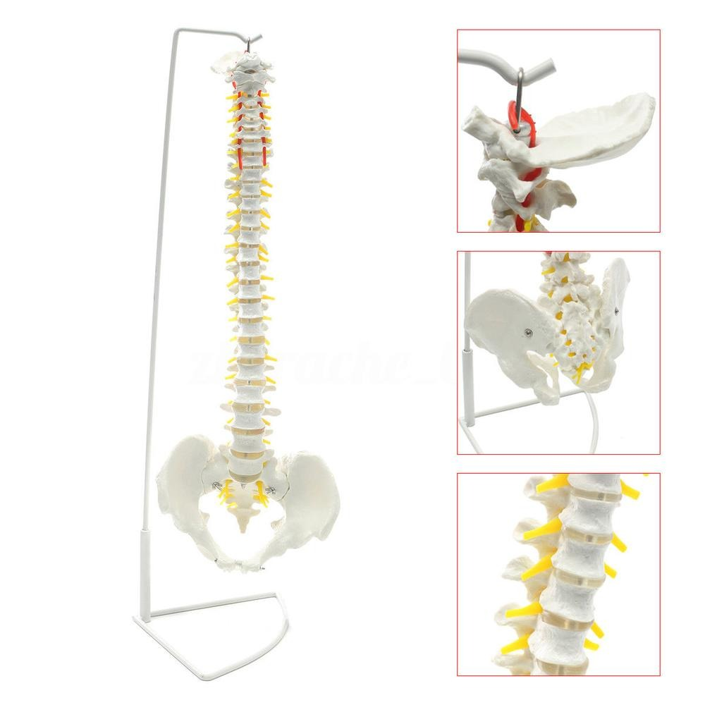 Vida Modelo Flexible Espina Dorsal Humana Anatómica Con-6804 ...