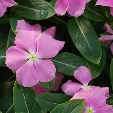 Vinca Planta Flores Sol Exterior Similar Alegria Del Hogar 3900 - Plantas-de-exteriores-con-flores
