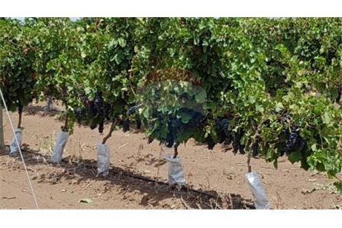 viñedos espaldares de los andes