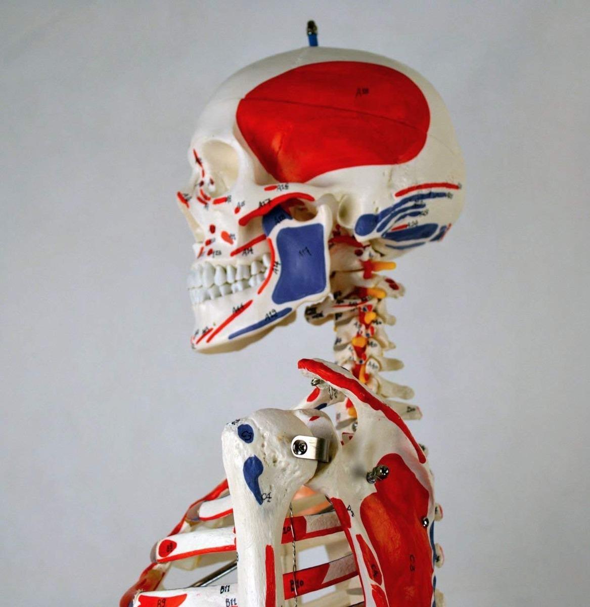 Wellden Producto Humana Anatómica Esqueleto Modelo Muscular ...