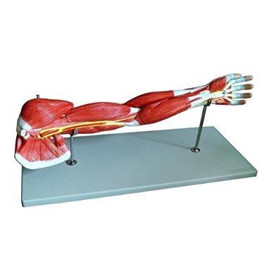 Wellden Producto Médico Anatómico Muscular Del Brazo Modelo ...