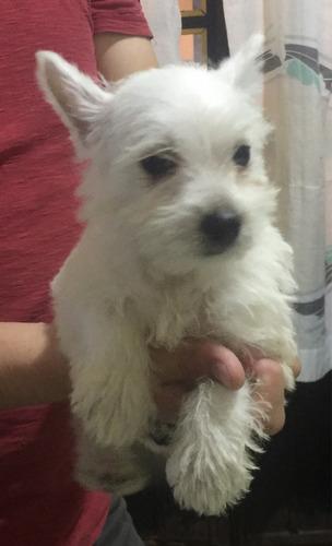 west highland white terrier cachorros de decencia francesa
