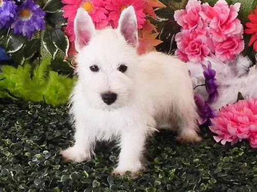 west highland white terrier - westie - cachorro ig -filhotes