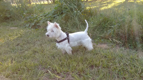 west highland white terrier - westie - westy - servicio stud