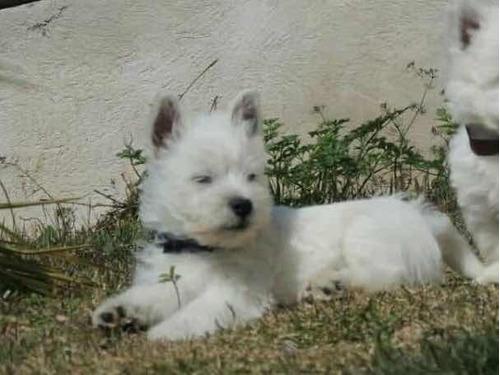 west terrier macho westie filhote com pedigree - lindo