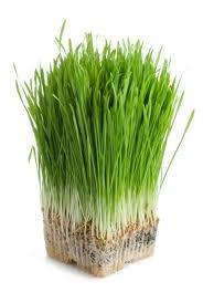wheatgrass, kit de cultivo para crecer pasto de trigo, trigo