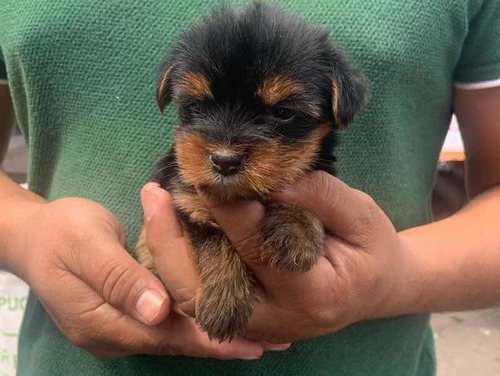 yorkie, yorkshire con opcion a microchip