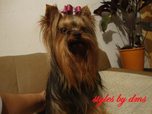 yorkie, yorky, yorkshire terrier ejemplares para cruce