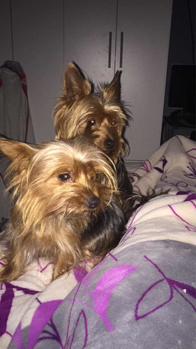 yorkshire cachorro