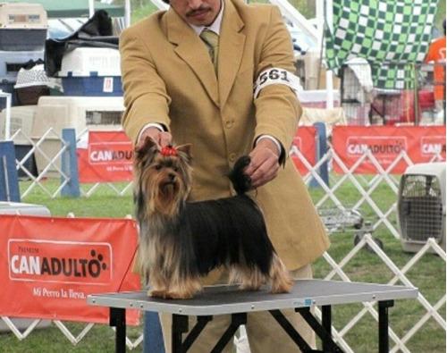 yorkshire cachorro,vendo o permuto.(ofrescan)
