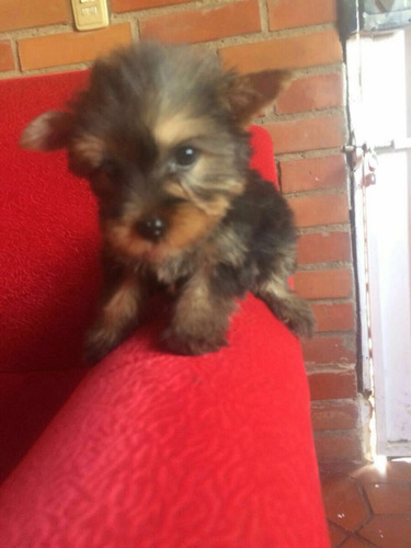 yorkshire shire terrier perro